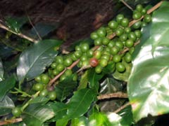 Antiguan Coffee Plantation